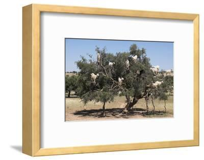 Morocco, Road to Essaouira, Goats Climbing in Argan Trees
