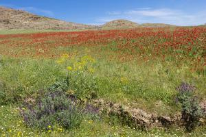 Morocco, Taounate, spring flowers bloom. by Emily Wilson
