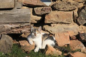 Romania, Maramures County, Dobricu Lapusului. Cat leaning against stone wall. by Emily Wilson