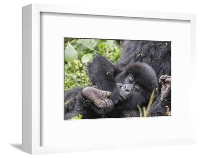 Rwanda, Volcanoes National Park, Ruhengeri, Kinigi. Mountain gorilla. Baby and mother.