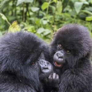 Rwanda, Volcanoes National Park, Ruhengeri, Kinigi. Mountain gorilla. Baby and mother. by Emily Wilson