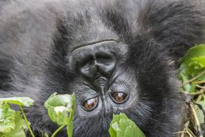 Rwanda, Volcanoes National Park, Ruhengeri, Kinigi. Mountain gorilla. by Emily Wilson
