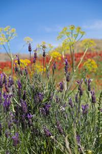 Verbena, Coreopsis, Atlantic Poppy, Lavender, Statice, Mountain Bluet and Cornflower by Emily Wilson