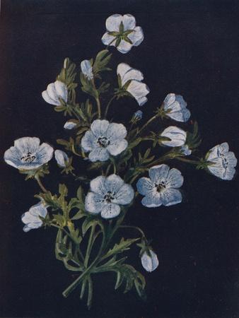 'Baby-Blue-Eyes',  c1915, (1915)