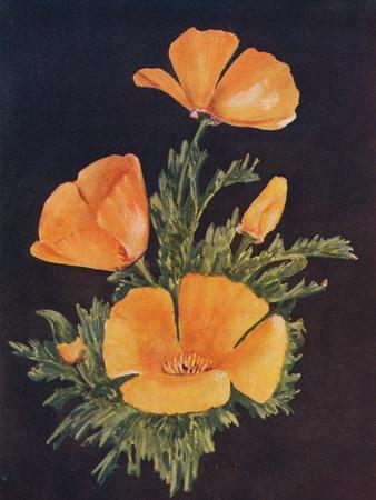 'California Poppy', c1915, (1915)