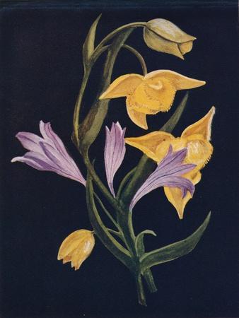 'Diogenes Lantern & Harvest Brodiaea',  c1915, (1915)