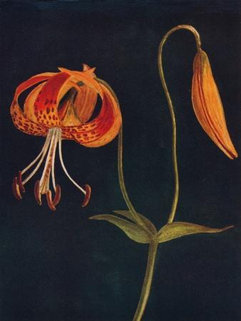 'Leopard Lily',  c1915, (1915)