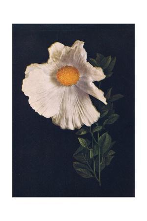 'Matilija Poppy',  c1915, (1915)