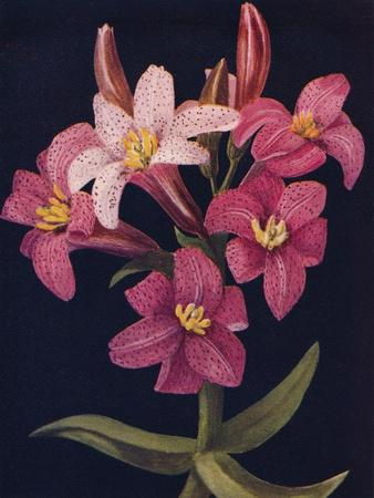 'Ruby Lily',  c1915, (1915)