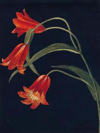 'Scarlet Fritillaria',  c1915, (1915)