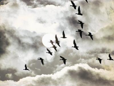 Geese in Flight by Emory Kristof