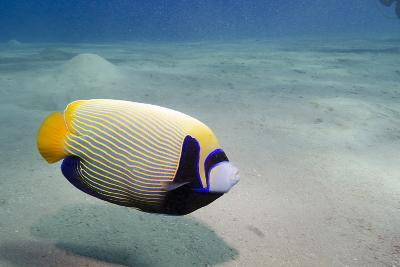 Emperor Angelfish (Pomacanthus Imperator) Close to Sandy Seabed-Mark Doherty-Photographic Print