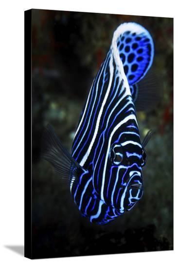 Emperor Angelfish-Barathieu Gabriel-Stretched Canvas Print