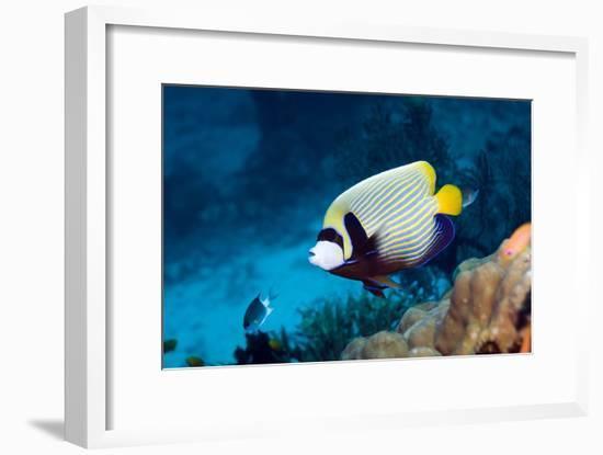Emperor Angelfish-Georgette Douwma-Framed Photographic Print
