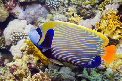 Emperor Angelfish-Georgette Douwma-Photographic Print