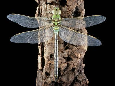 Emperor Dragonfly, Anax Imperator-Sinclair Stammers-Photographic Print