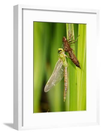 Emperor Dragonfly Metamorphosis-Andy Harmer-Framed Photographic Print