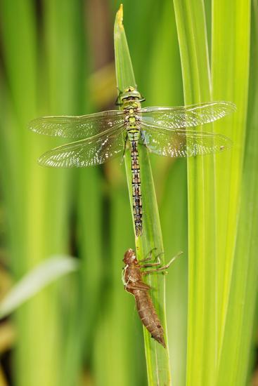 Emperor Dragonfly Metamorphosis-Andy Harmer-Photographic Print
