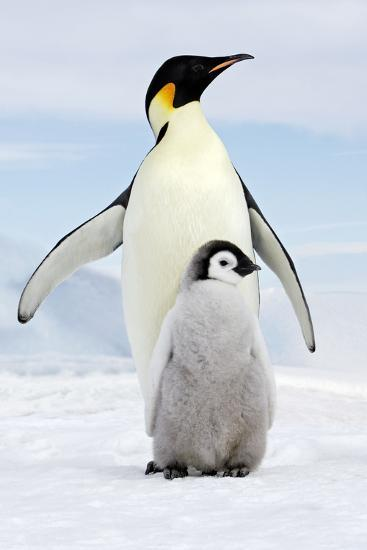 Emperor Penguin, Adult with Young--Photographic Print
