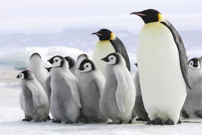 Emperor Penguin Adults with Chicks--Photographic Print