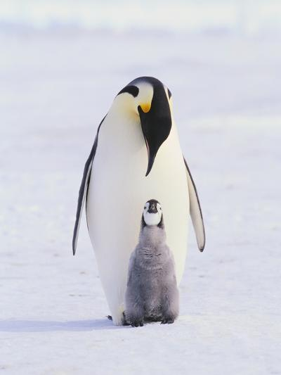 Emperor Penguin and Baby--Photographic Print
