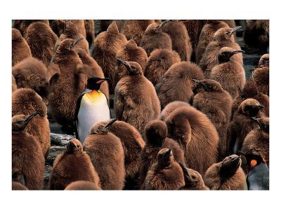 Emperor Penguin and Chicks--Art Print