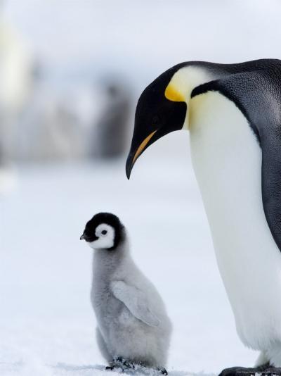 Emperor Penguin (Aptenodytes Forsteri) and Chick, Snow Hill Island, Weddell Sea, Antarctica-Thorsten Milse-Photographic Print