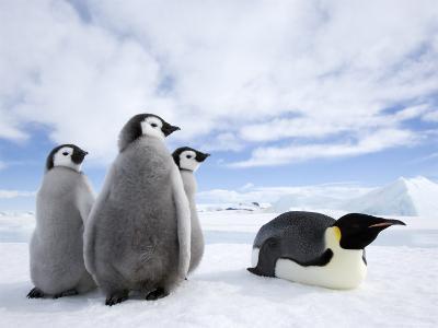 Emperor Penguin (Aptenodytes Forsteri) and Chicks, Snow Hill Island, Weddell Sea, Antarctica-Thorsten Milse-Photographic Print