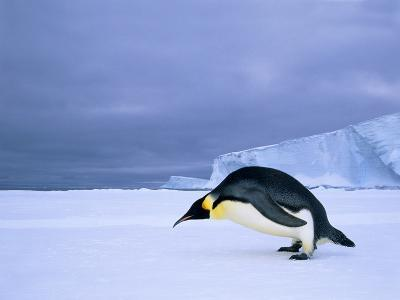 Emperor Penguin (Aptenodytes Forsteri) at the Edge of the Shorefast Ice, Drescher Inlet, 72 Degrees-Wayne Lynch-Photographic Print