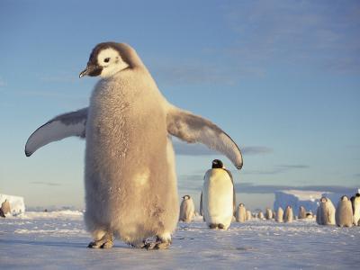Emperor Penguin (Aptenodytes Forsteri), Austral Spring, No-Name Rookery, Weddell Sea, Antarctica-Tui De Roy/Minden Pictures-Photographic Print
