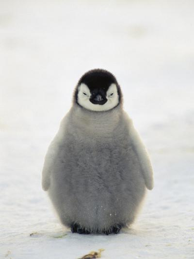 Emperor Penguin (Aptenodytes Forsteri) Chick, Antarctica-Konrad Wothe-Photographic Print