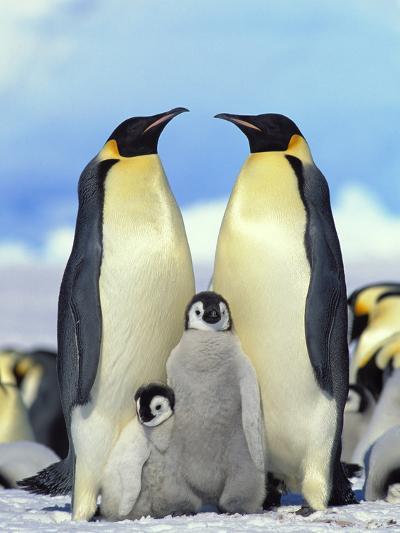 Emperor Penguin (Aptenodytes Forsteri) Parents with Chicks, Antarctica-Konrad Wothe-Photographic Print