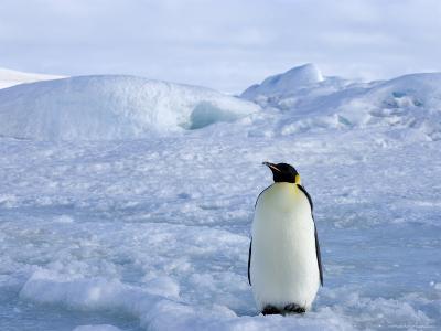 Emperor Penguin (Aptenodytes Forsteri), Snow Hill Island, Weddell Sea, Antarctica, Polar Regions-Thorsten Milse-Photographic Print