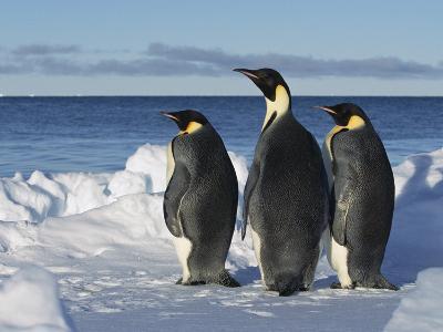 Emperor Penguin (Aptenodytes Forsteri) Trio on Edge of Ice, Antarctica-Konrad Wothe-Photographic Print