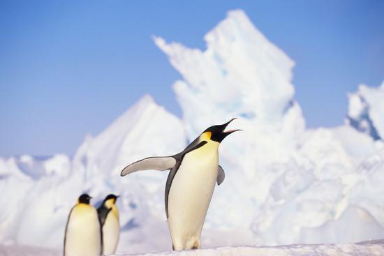 Emperor Penguin Calling-DLILLC-Photographic Print