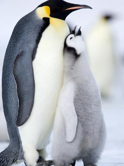 Emperor Penguin Chick and Adult, Snow Hill Island, Weddell Sea, Antarctica, Polar Regions-Thorsten Milse-Photographic Print