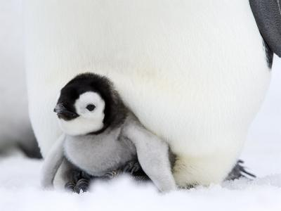 Emperor Penguin Chick (Aptenodytes Forsteri), Snow Hill Island, Weddell Sea, Antarctica-Thorsten Milse-Photographic Print