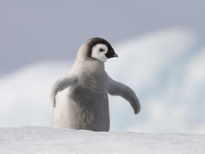 Emperor Penguin Chick in Antarctica-Paul Souders-Photographic Print