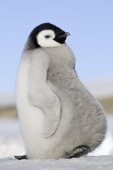 Emperor Penguin Chick--Photographic Print