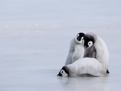 Emperor Penguin Chicks (Aptenodytes Forsteri), Snow Hill Island, Weddell Sea, Antarctica-Thorsten Milse-Photographic Print
