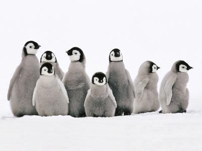 Emperor Penguin Chicks, Aptenodytes Forsteri, Weddell Sea, Antarctica-Frans Lanting-Photographic Print