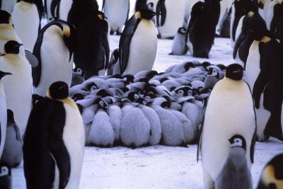 Emperor Penguin Chicks Huddling-Doug Allan-Photographic Print