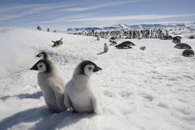 Emperor Penguin Chicks in Antarctica--Photographic Print