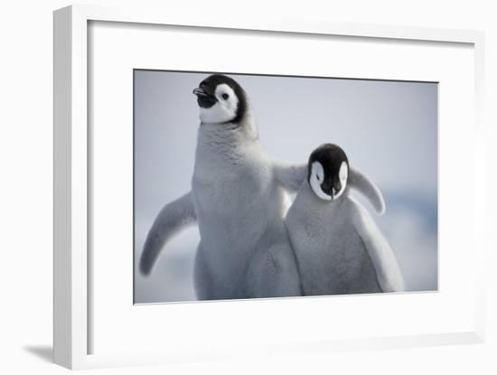 Emperor Penguin Chicks in Antarctica-Paul Souders-Framed Photographic Print