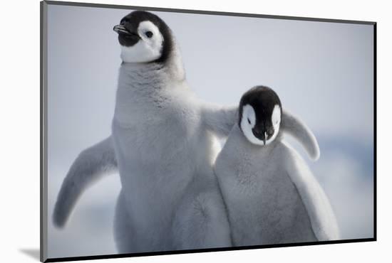 Emperor Penguin Chicks in Antarctica-Paul Souders-Mounted Photographic Print