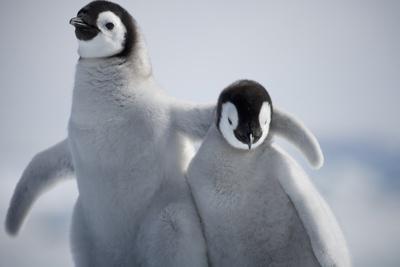 https://imgc.artprintimages.com/img/print/emperor-penguin-chicks-in-antarctica_u-l-q1578v20.jpg?p=0