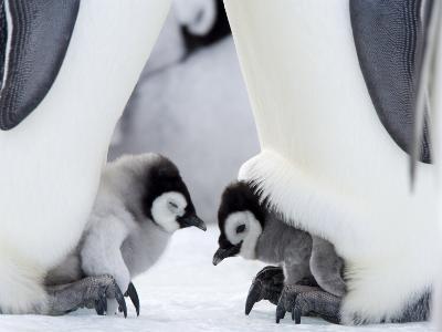 Emperor Penguin Chicks, Snow Hill Island, Weddell Sea, Antarctica, Polar Regions-Thorsten Milse-Photographic Print