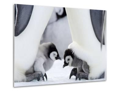Emperor Penguin Chicks, Snow Hill Island, Weddell Sea, Antarctica, Polar Regions-Thorsten Milse-Metal Print