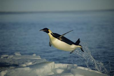 Emperor Penguin Flying Out of Water (Aptenodytes Forsteri) Cape Washington, Antarctica-Martha Holmes-Photographic Print