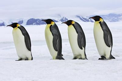 Emperor Penguin Four Adults Walking across Ice--Photographic Print